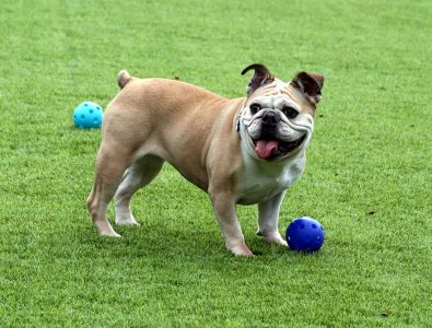 A dog standing by its play ball on Surface America's Doggy Turf